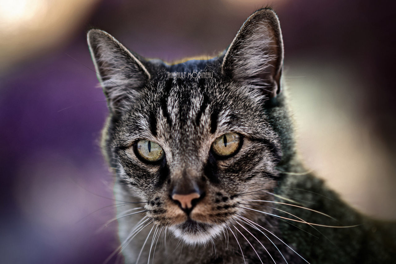 domestic cat, one animal, pets, animal themes, domestic animals, feline, mammal, whisker, focus on foreground, close-up, no people, portrait, looking at camera, day, indoors