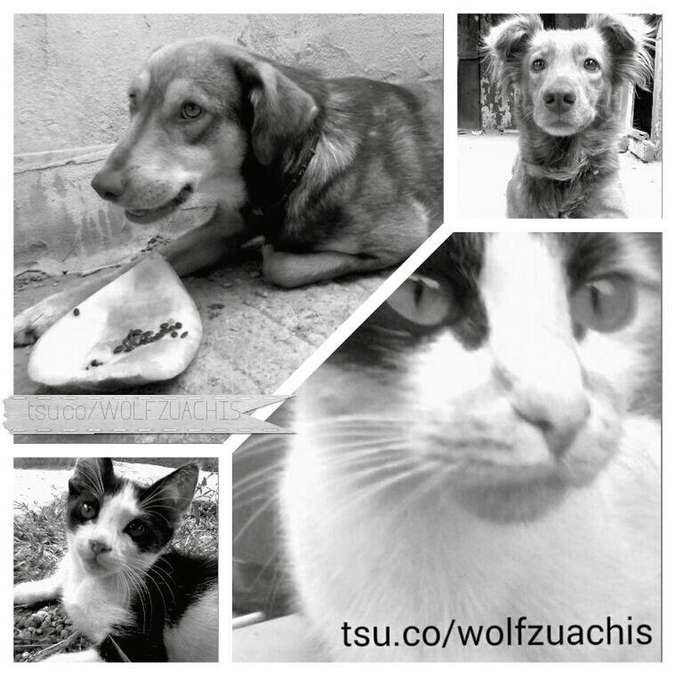 Wolfzuachis Collage My Pets Fluffys Pufosenii Pufosi 😚 😚 😚 😚