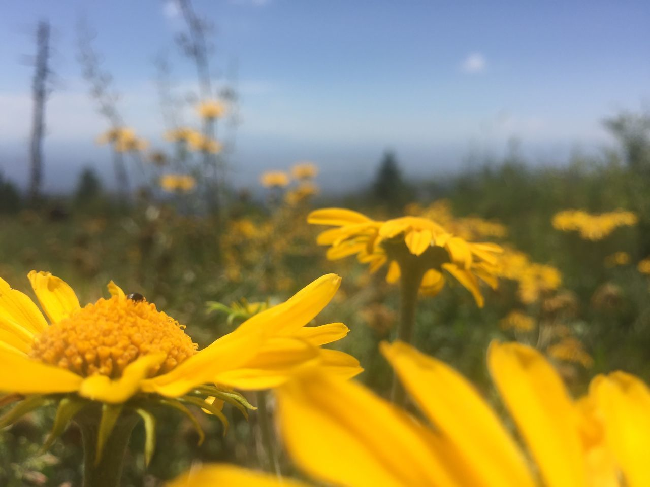 Arizona Mt. Lemmon, Flower Bug