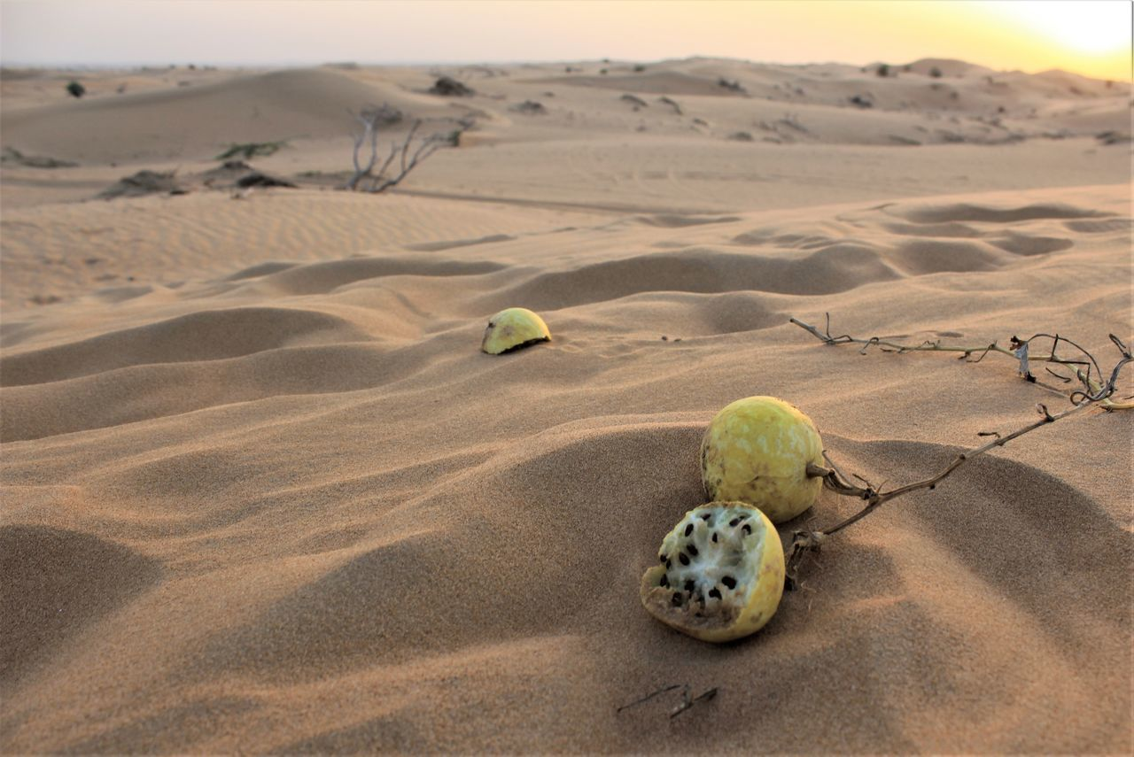 Desert Landscape No People Outdoors Fruits In The Desert Fruits Dubai Desert Plants Desert Of Dubai The Great Outdoors - 2017 EyeEm Awards EyeEmNewHere Live For The Story Betterlandscapes