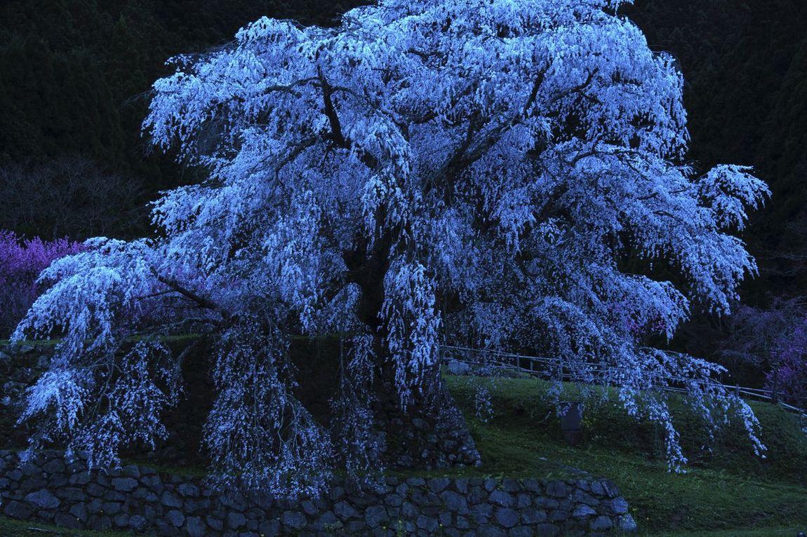 奈良県 又兵衛桜 薄暮 花明かり Butterfly Eyemphotography Sakura Japan 桜 EyeEmBestEdits Japan Photography EyeEm Japan EyeEm Best Shots Cherry Blossoms 夕暮れ