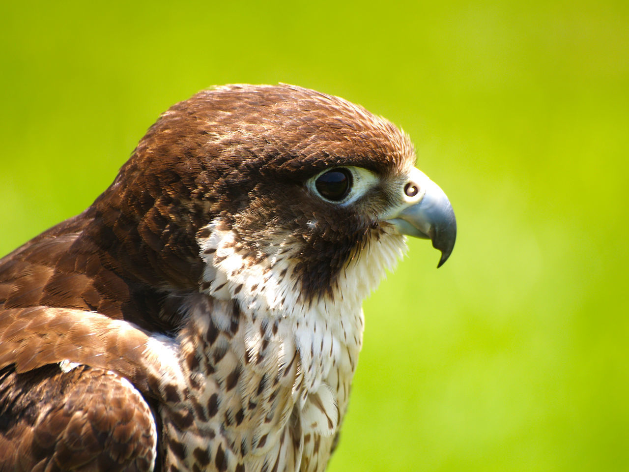bird, animal themes, bird of prey, animals in the wild, one animal, animal wildlife, close-up, hawk, focus on foreground, beak, day, no people, outdoors, nature