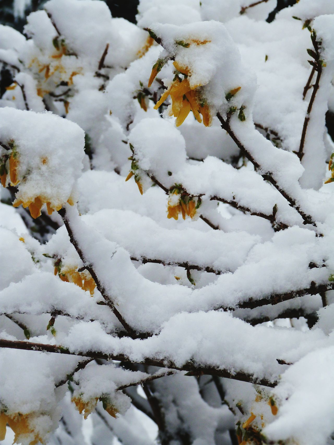 Forsythia Forsythia Snow Winter Nature Outdoors Close-up Pretty Scotland No People Spring