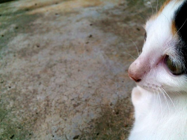 Mammal Day Cat♡ Cat Close-up Cat Eyes Cat Watching Cats 🐱 Cat Lovers Loveit Kitten 🐱 Kitten Love Kitten Cute Kitten Cute♡ Pets No People One Animal All About Me » Thailand
