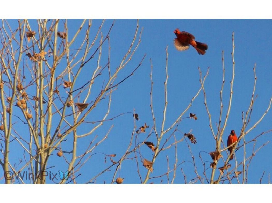 """""""Freedom"""". 20/120 Cardinal Bird Cardinal Birds Cardinal - Bird Cardinal Red Wings Spread Birds In Nature Birds_n_branches Beautiful Nature Beautiful Bird Beautiful Birds Cardenal Rojo Red Bird Red Bird In Tree"""