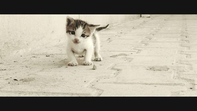 Kitten Blackandwhite Small Cat Pet Photography  Pet