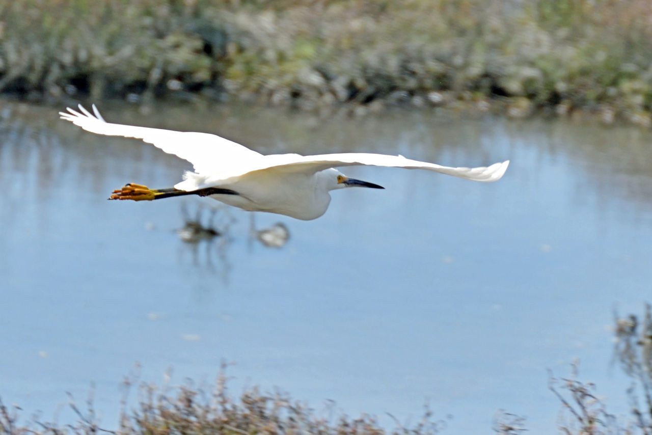one animal, animals in the wild, animal themes, bird, white color, great egret, animal wildlife, egret, day, flying, spread wings, lake, focus on foreground, water, nature, heron, no people, beak, outdoors, close-up