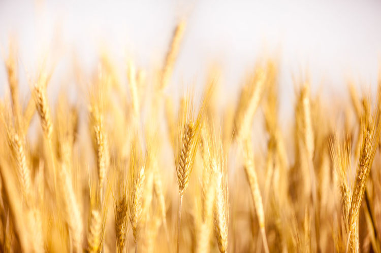 Golden cereal ears grow on field, many ripe plants ready to harvest, close-up and blurred, open air. Photo taken in Poland. Agriculture Barley Cereal Cereal Plant Crop  Ears Field Field Golden Growing Hordeum Nature Plant Plants Rural Rye - Grain Rye Field Secale Summer Triticum Wheat