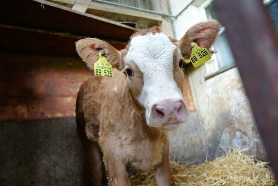 Beautiful stock photos of cow, Animal Themes, Barn, Calf, Close-Up