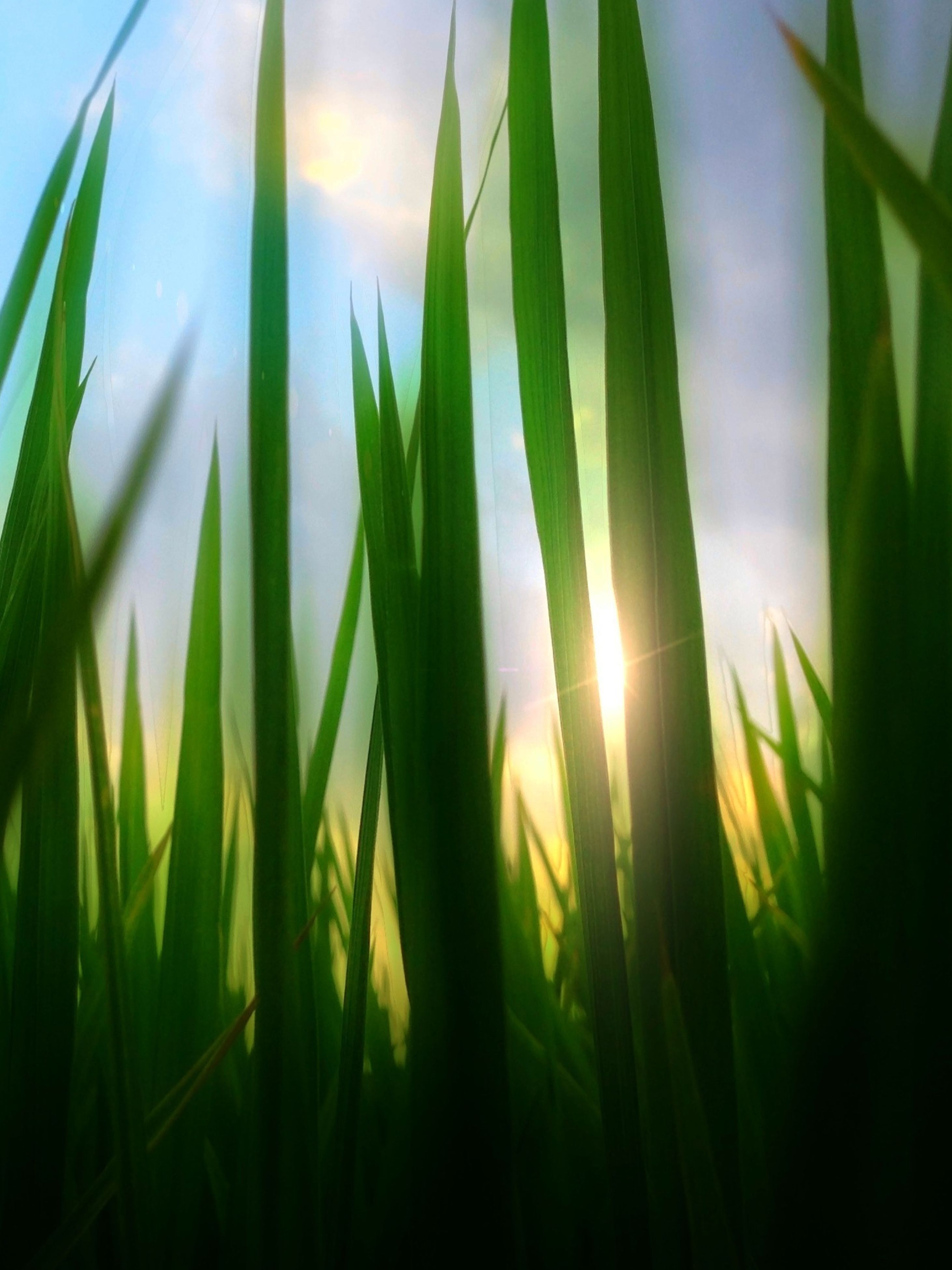 growth, plant, nature, sun, beauty in nature, field, tranquility, grass, green color, sunlight, close-up, sunbeam, focus on foreground, growing, tranquil scene, sunset, freshness, leaf, outdoors, no people