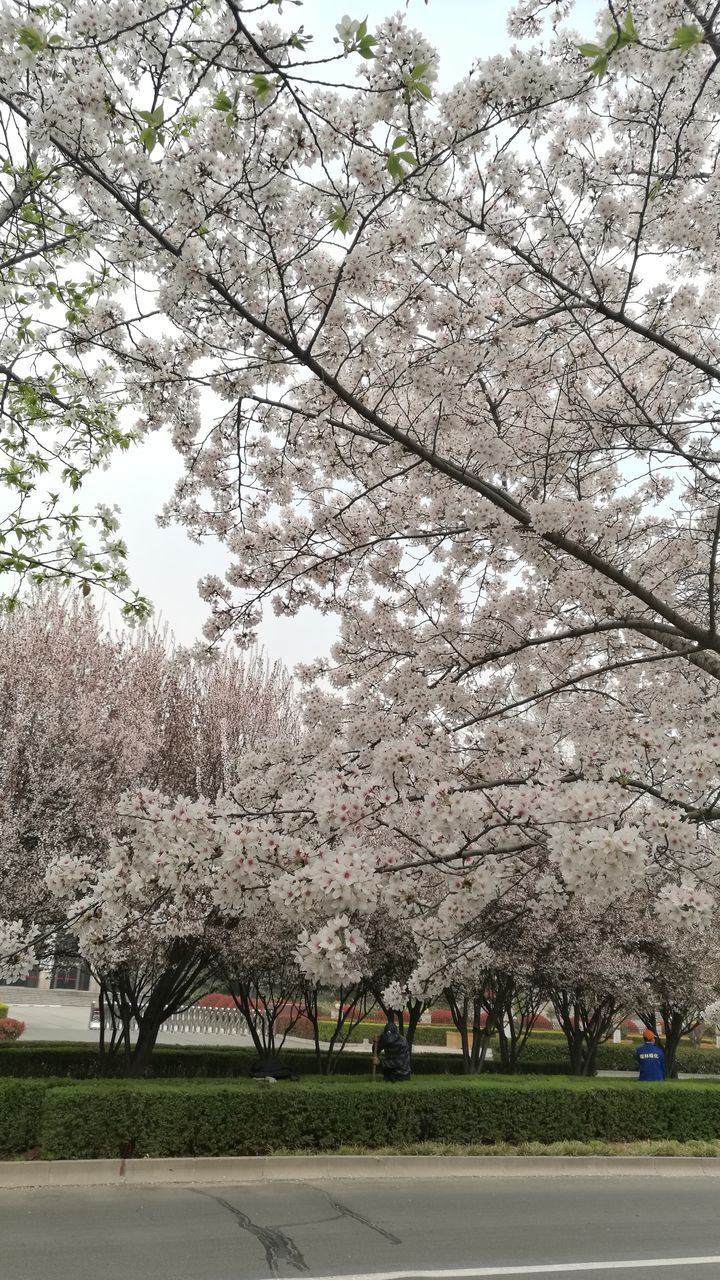 tree, blossom, nature, beauty in nature, springtime, flower, branch, growth, orchard, outdoors, day, no people, freshness, park - man made space, scenics, fragility, sky