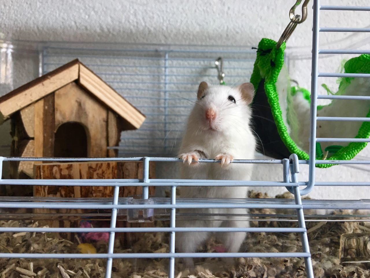 Hello People  Hamster her name is Lily Say Hello To My Little Friend Nature Animal Themes Mammal Domestic Animals Pets One Animal Indoors  No People Cage Day White Hamster Curious Animals Curious Say Hello