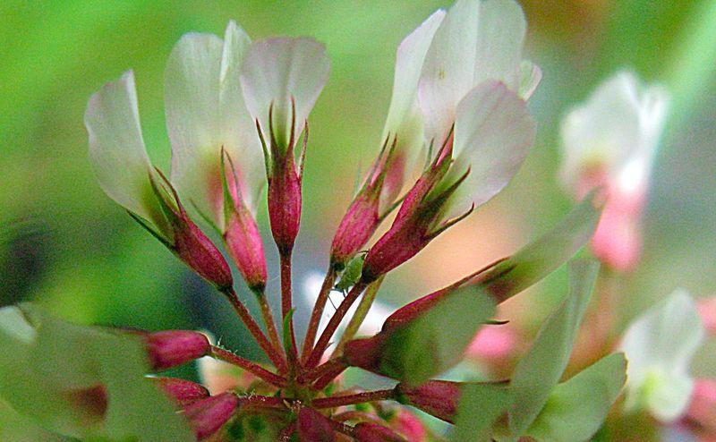 Macro Nature Macro Photography Clover Flower Plant Nature EyeEm Nature Lover Spiritual Awakening