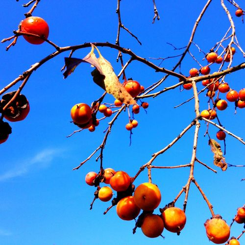 Persimmons Nature EyeEm Nature Lover Colors Of Autumn EyeEm Best Shots Lookingup Blue Sky Blue Branch Fruit Persimmon Beauty In Nature Autumn
