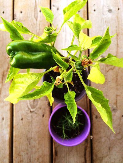 🌞 Peppers Vegitables #lilac Greenthumb