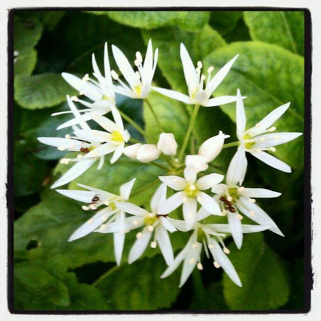 Nature_collection Bärlauch  Allium Ursinum