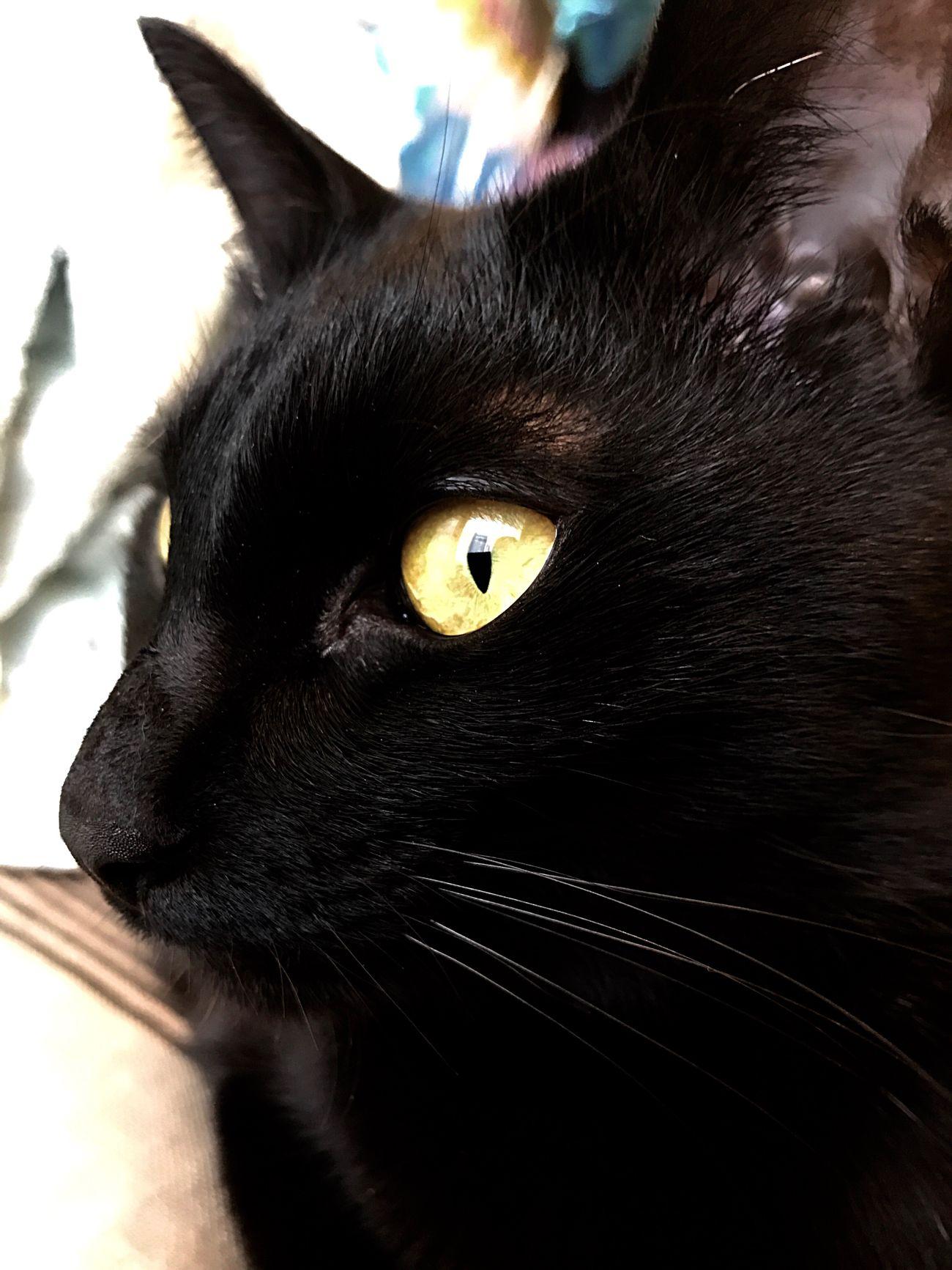 BLackCat Pets One Animal Domestic Animals Domestic Cat Animal Themes Mammal Yellow Eyes Close-up Black Color Portrait Feline Animal Head  Whisker Animal Eye No People Indoors  Day