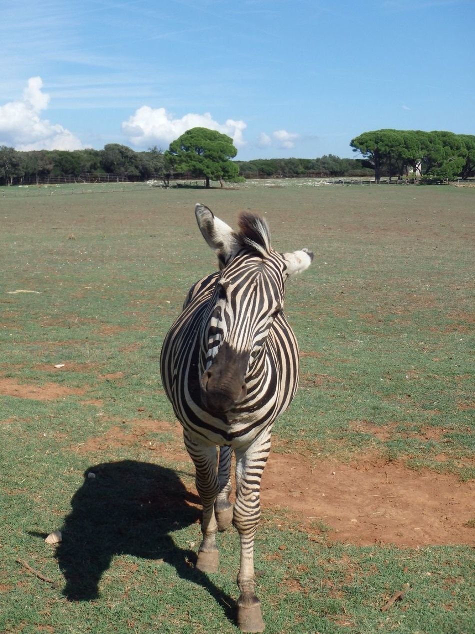 Beautiful stock photos of zebra, Animal Themes, Animals In The Wild, Day, Field