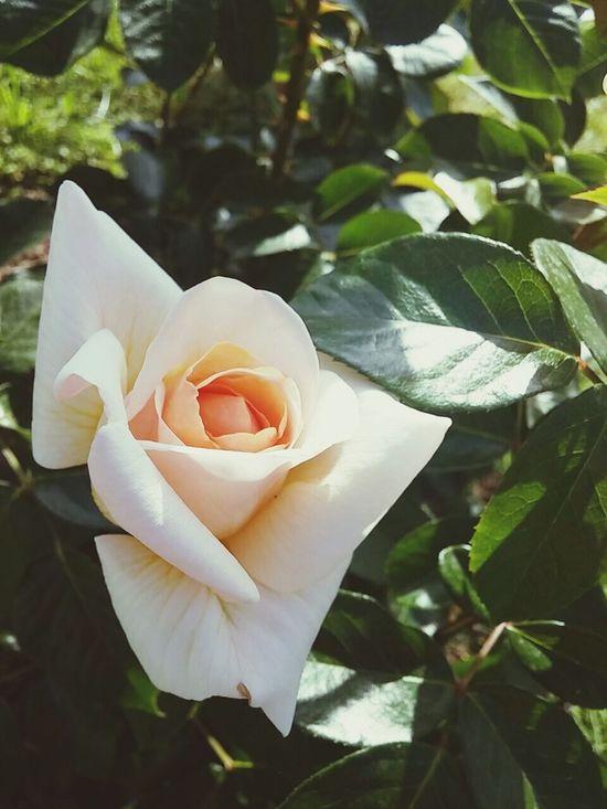 Roma - Giardino delle Rose Rome - Roses Garden Rome Italy White Roses Roses Garden Of Rome