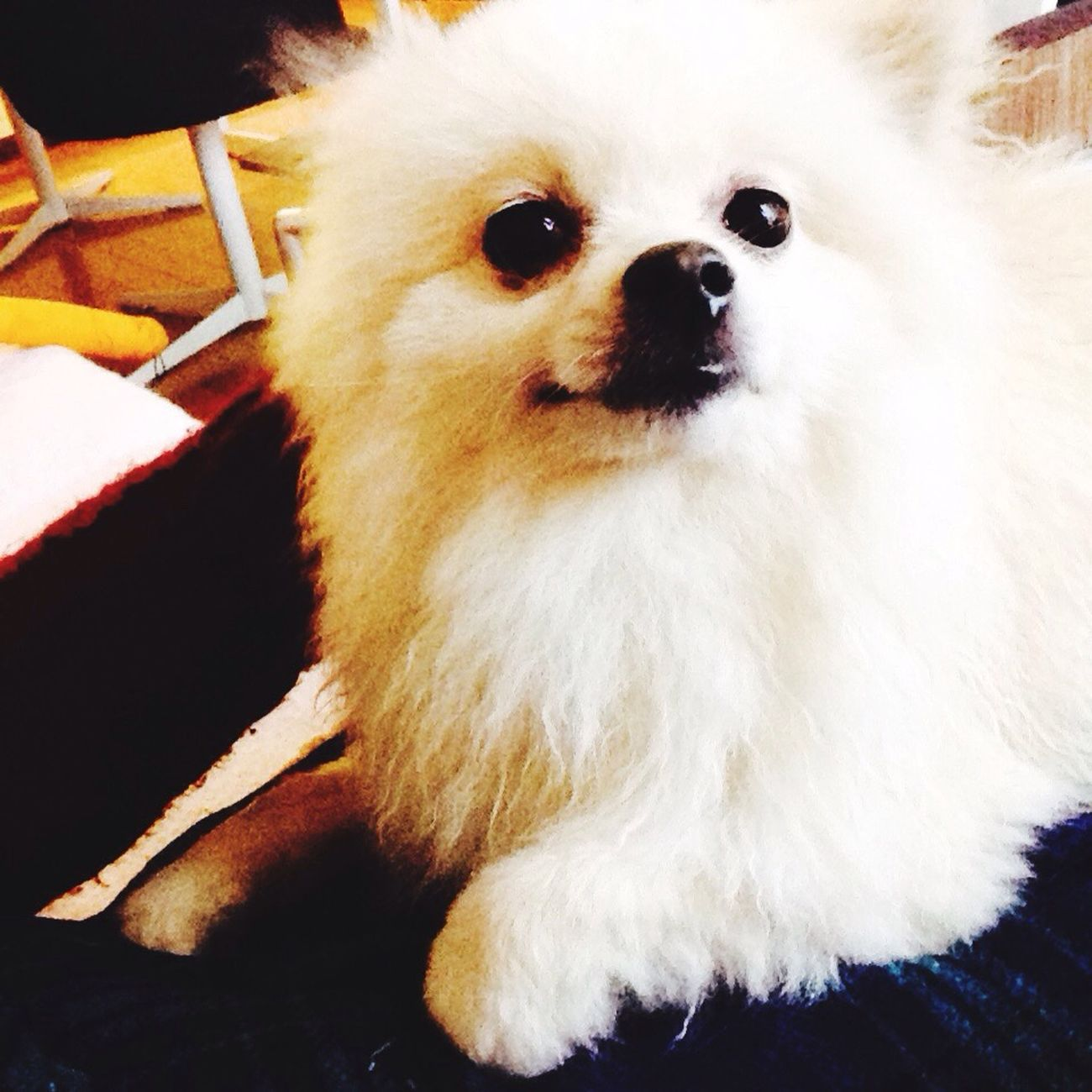 Korosuke Pomeranian I Love My Dog Dog