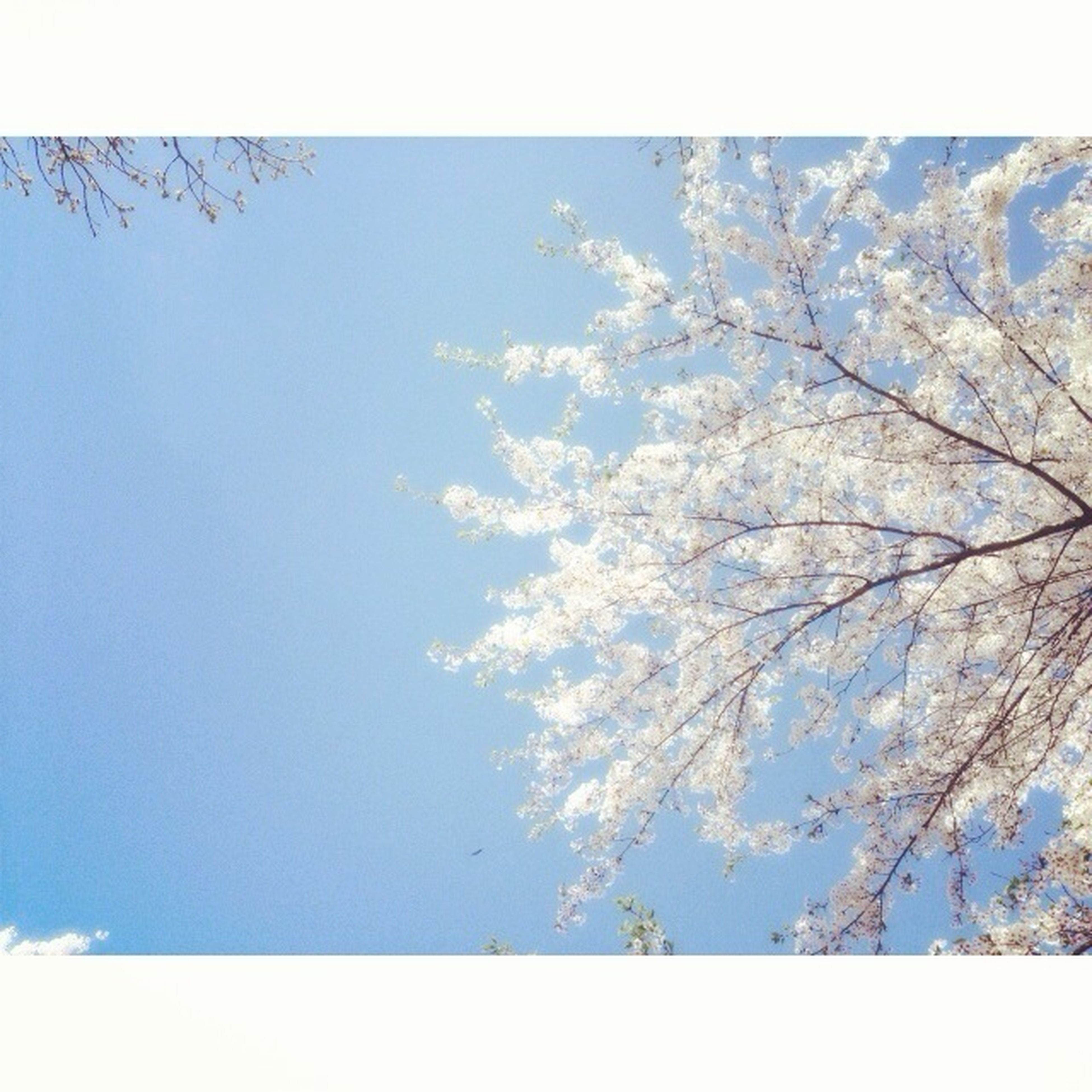 low angle view, tree, branch, growth, beauty in nature, flower, nature, blue, sky, freshness, clear sky, day, blossom, auto post production filter, tranquility, fragility, outdoors, no people, white color, transfer print