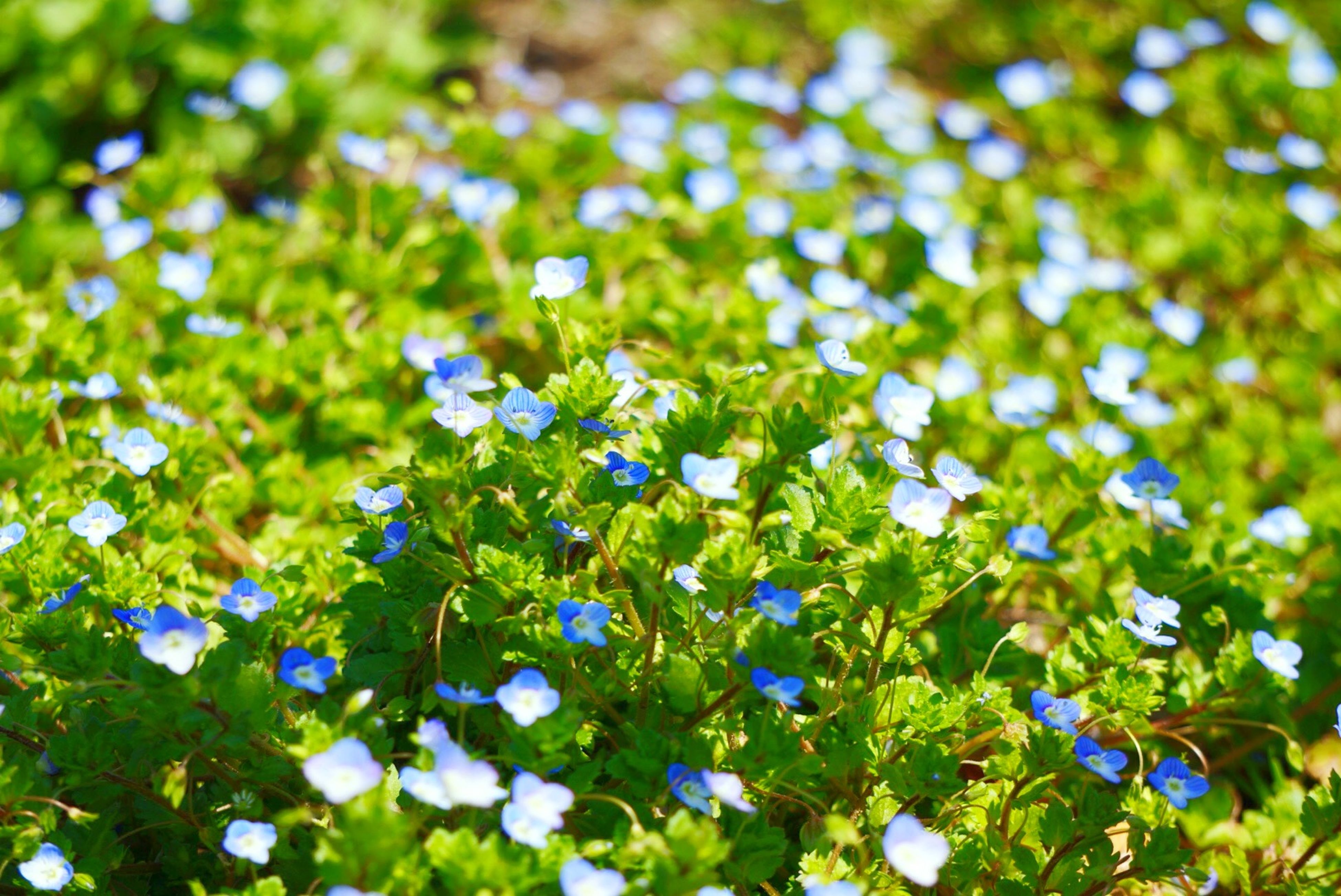 flower, growth, fragility, blue, freshness, purple, beauty in nature, nature, plant, green color, blooming, leaf, petal, field, focus on foreground, close-up, day, in bloom, white color, park - man made space