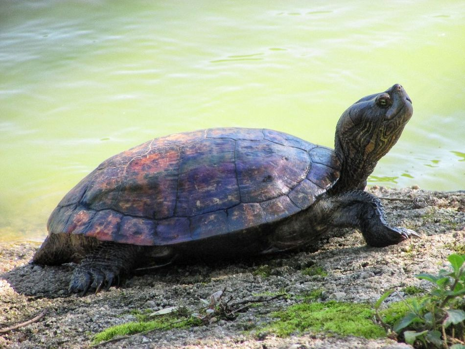 Tortoise Reptile Tortoise Shell Turtle Animal Wildlife Animal Shell Animals In The Wild Nature Sea Turtle One Animal Day Sea Outdoors Animal Themes Water Endangered Species Grass No People Sea Life Beauty In Nature