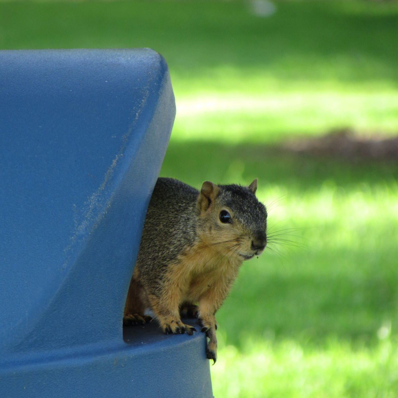 Mr Squirrel One Animal Animal Themes Squirrel Animal Wildlife Day No People Outdoors Close-up Nature No Filter, No Edit, Just Photography Beautiful Nature Nature Trash Can Worried Look and Suspicious of me! Funny Squirrel Laughing Out Loud Watching Him Watch Me! EyeEmNewHere