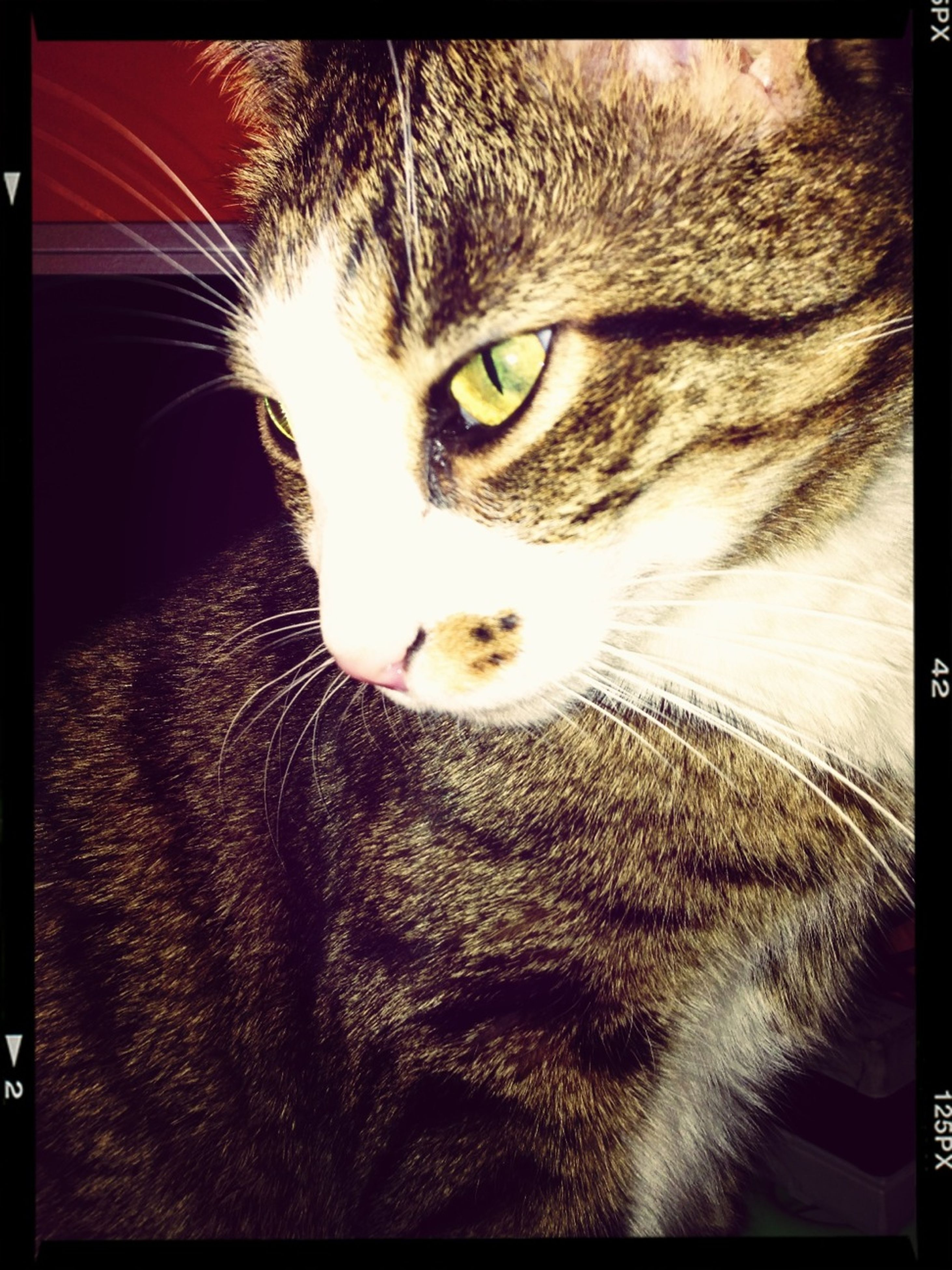 transfer print, pets, domestic cat, domestic animals, one animal, cat, auto post production filter, feline, animal themes, indoors, mammal, whisker, close-up, animal head, looking at camera, portrait, animal eye, staring, animal body part, no people