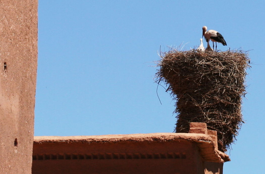 2011 Ancient Medina Animal Themes Architecture Baby Storks Bird Bird Nest Built Structure Clear Sky Close-up Day Morocco No People One Animal Ouarzazate Outdoors Roof Sky Stork