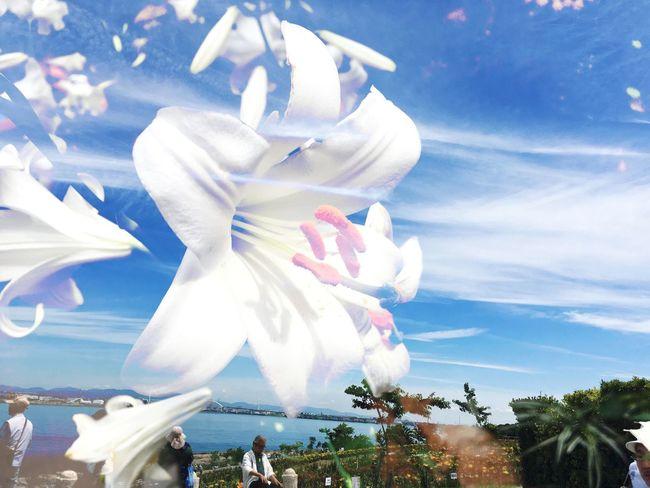 幻のゆり Lily @rt Beautiful View Blue Sky Blue Sea Growth WhiteCollection 希少だとされる'マドンナリリー' Madonna Lily