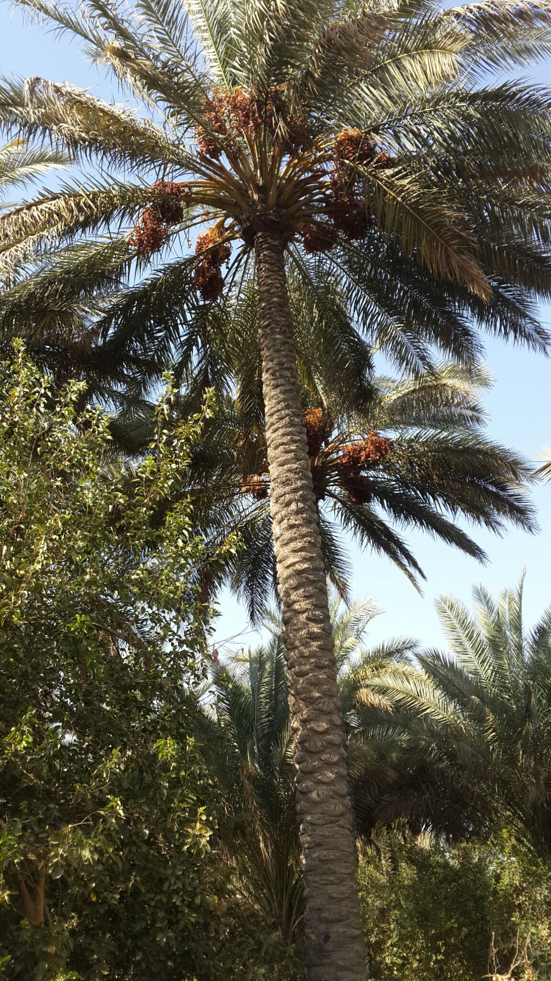 tree, palm tree, growth, low angle view, tree trunk, tranquility, nature, branch, sky, tranquil scene, beauty in nature, tall - high, clear sky, green color, scenics, day, outdoors, growing, no people, palm leaf