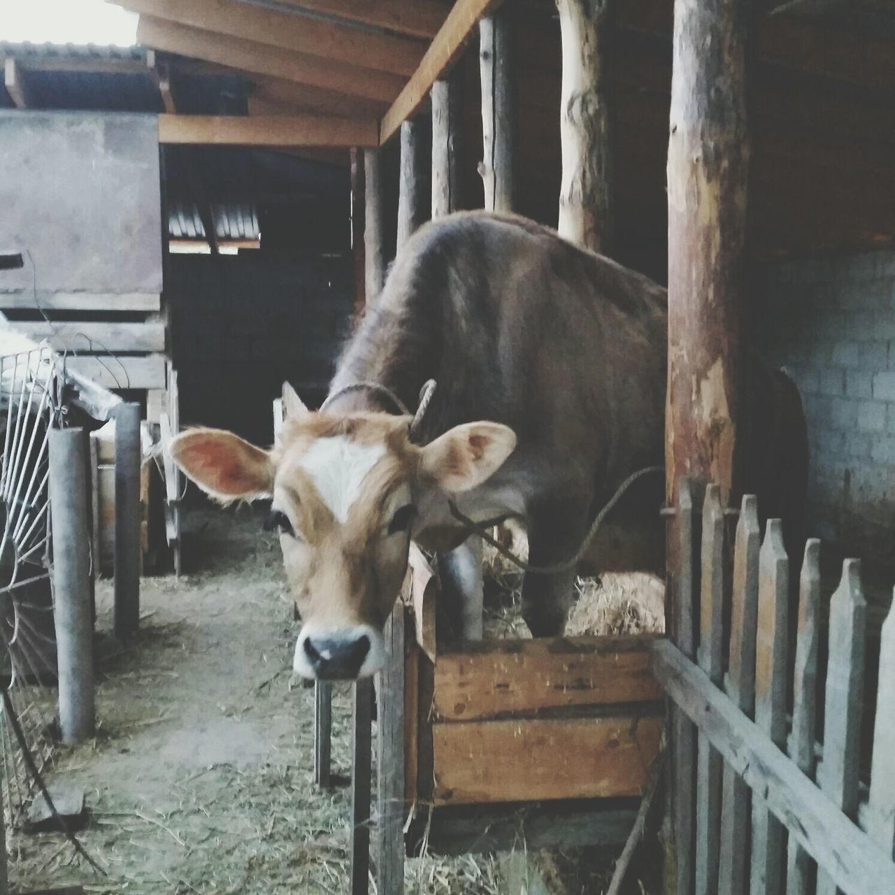 Cows Animals Farm Farm Life