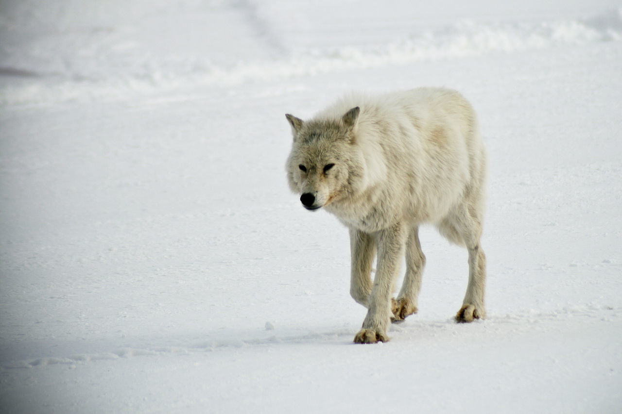Animal Arctic Canada Ice Mammal Nature Nature_collection North Pole Nunavut Polar  Polar Wolf Snow Wolf Zoology