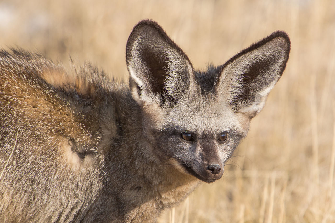 Beautiful stock photos of fuchs,  Animal Themes,  Animal Wildlife,  Animals In The Wild,  Arid Climate