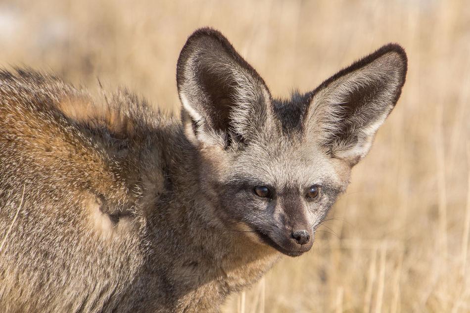 Beautiful stock photos of fox,  Animal Themes,  Animal Wildlife,  Animals In The Wild,  Arid Climate