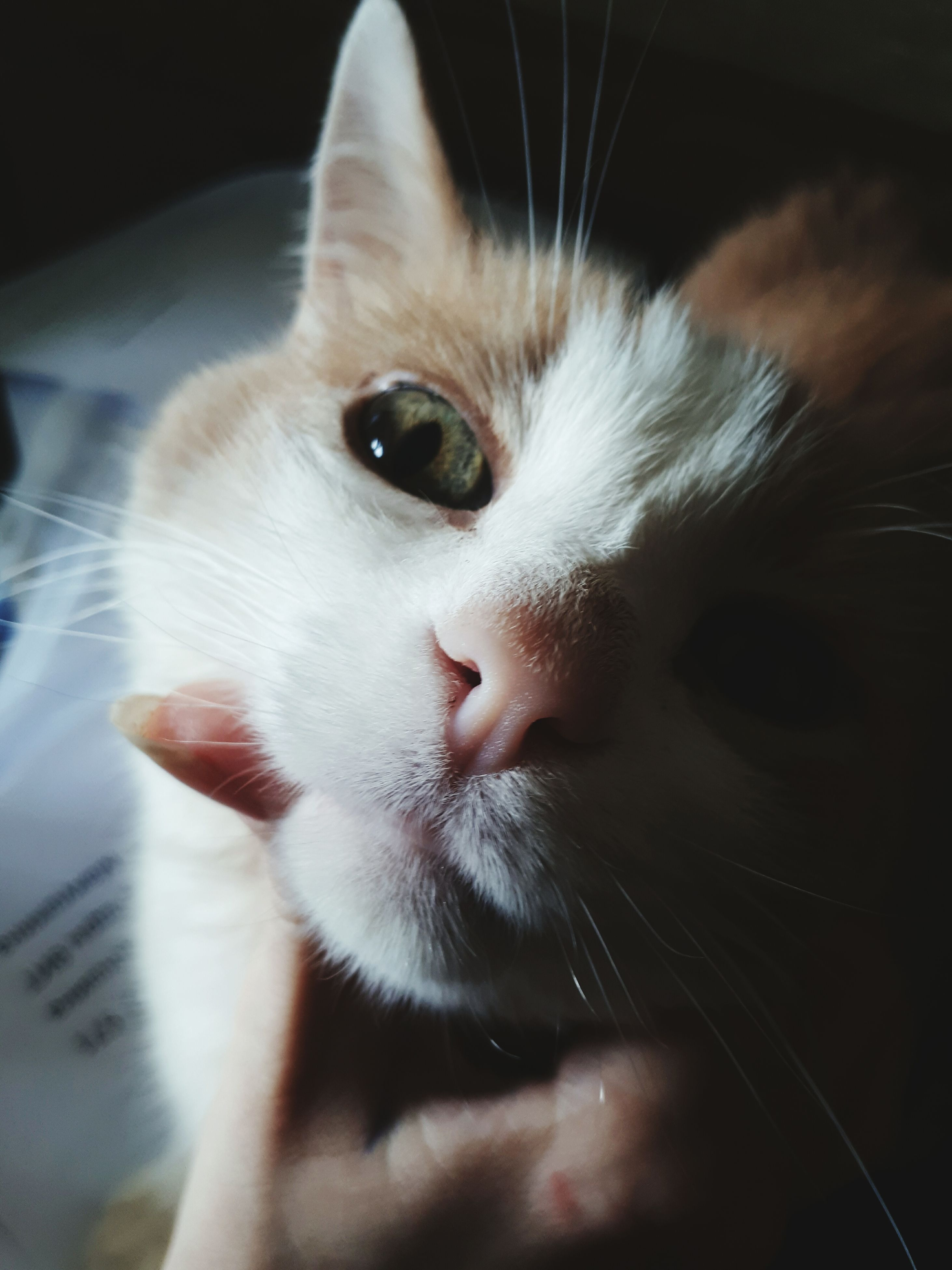 domestic cat, pets, domestic animals, one animal, feline, animal themes, mammal, whisker, indoors, close-up, portrait, no people, day