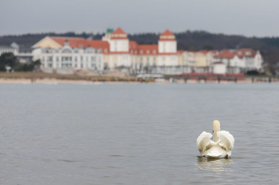 Rear view of mute swan swimming in the Baltic Sea Animal Themes Animal Wildlife Animals In The Wild Architecture Baltic Sea Beauty In Nature Bird Building Exterior Built Structure City Coastline Day Focus On Foreground Mute Swan Nature One Animal Outdoors Rear View Relaxation Sea Swan Swimming Water Water Bird Waterfront