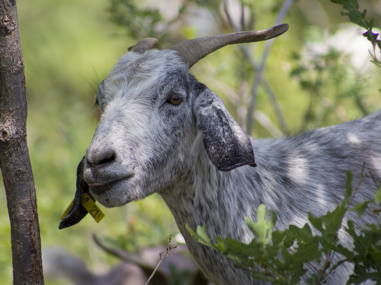 Grey Goat Close-up Close—up Day Defensible Space Fire Mitigation Goat Goat For Fire Mitigation Grey Goat Horns No People No People, One Animal Outdoors Vegetation Reduction Weed Management Wildfire Protection