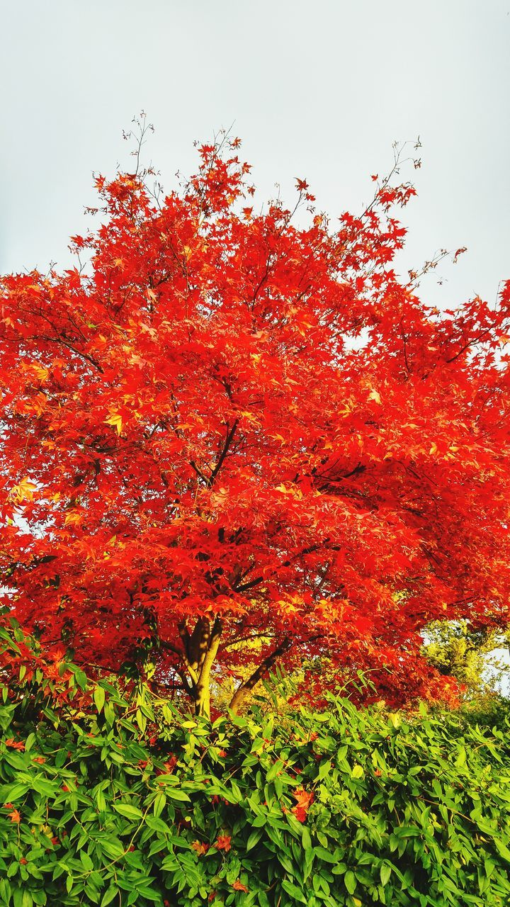 change, tree, autumn, growth, low angle view, red, nature, leaf, beauty in nature, no people, outdoors, day, sky, branch, clear sky, close-up, freshness