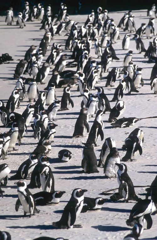 Large Group Of Animals Animals In The Wild Bird Animal Themes Animal Wildlife Flock Of Birds Outdoors Sunlight Day No People Nature Jackass Penguin Penguin Beach Life South Africa Cape Town