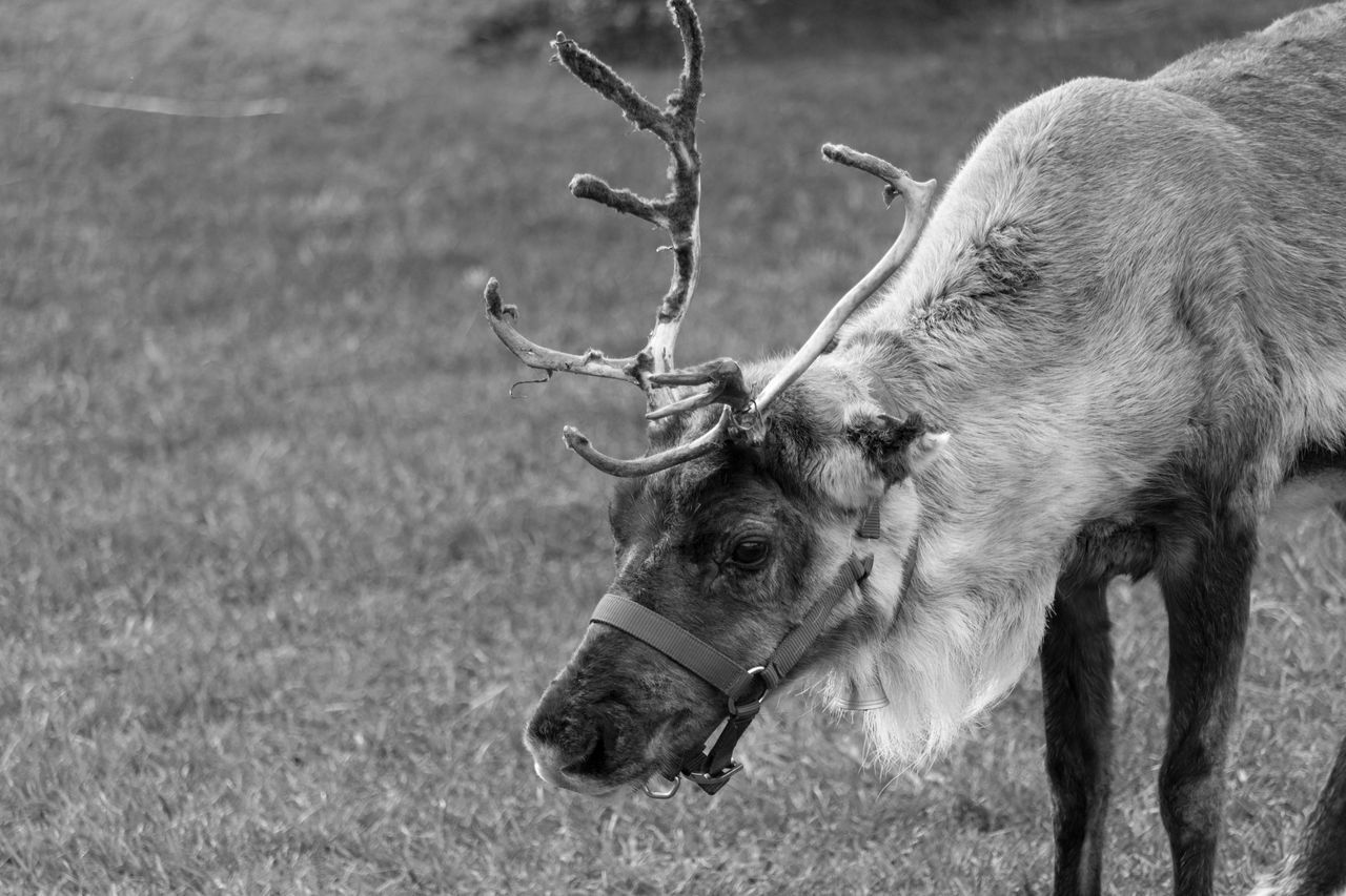 Reindeer Animal Themes Animals Black & White Black And White Black And White Photography Blackandwhite Chistmas Time Close-up Blackandwhite Photography Bnw Eye4photography  EyeEm Headshot EyeEm Best Shots EyeEm Bnw EyeEmBestPics Monochrome Reindeer Antlers Reindeers From My Point Of View EyeEm Gallery Taking Photos Portugal