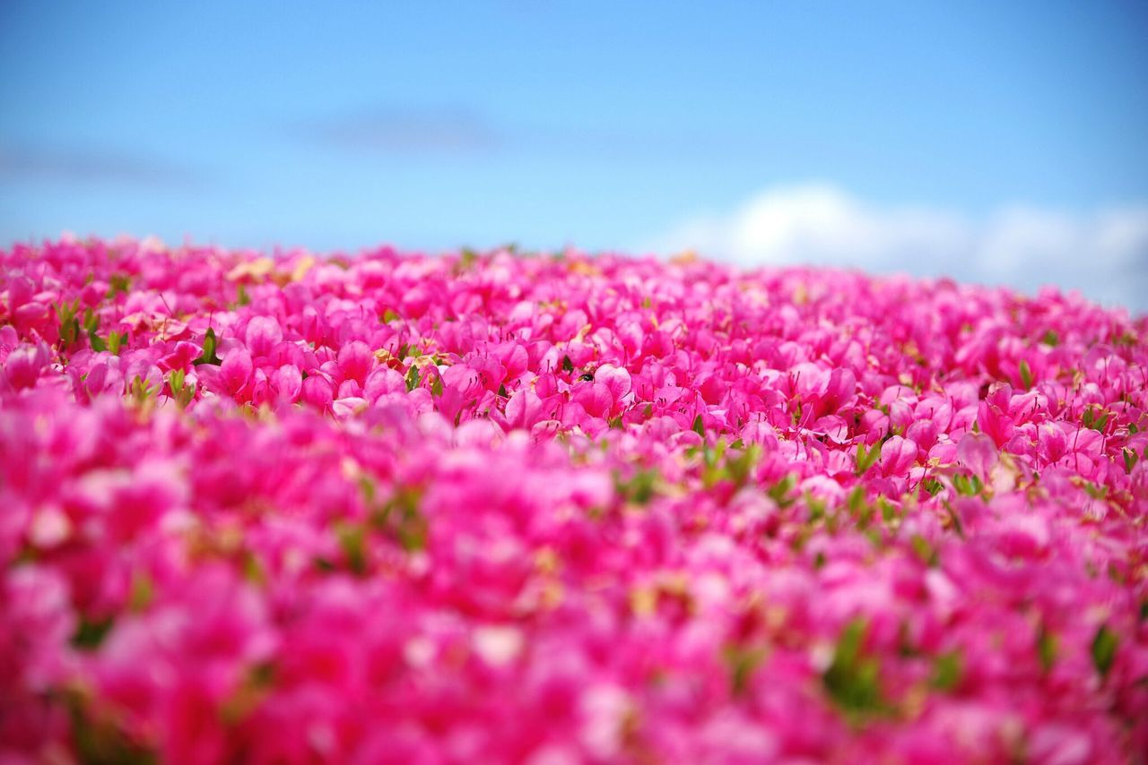 Pink Color Flower Beauty In Nature Nature Selective Focus Outdoors Fragility Plant No People Tranquility Freshness Day Uncultivated Landscape Springtime Scenics Sea Close-up Water Flower Head Nature 三方五湖