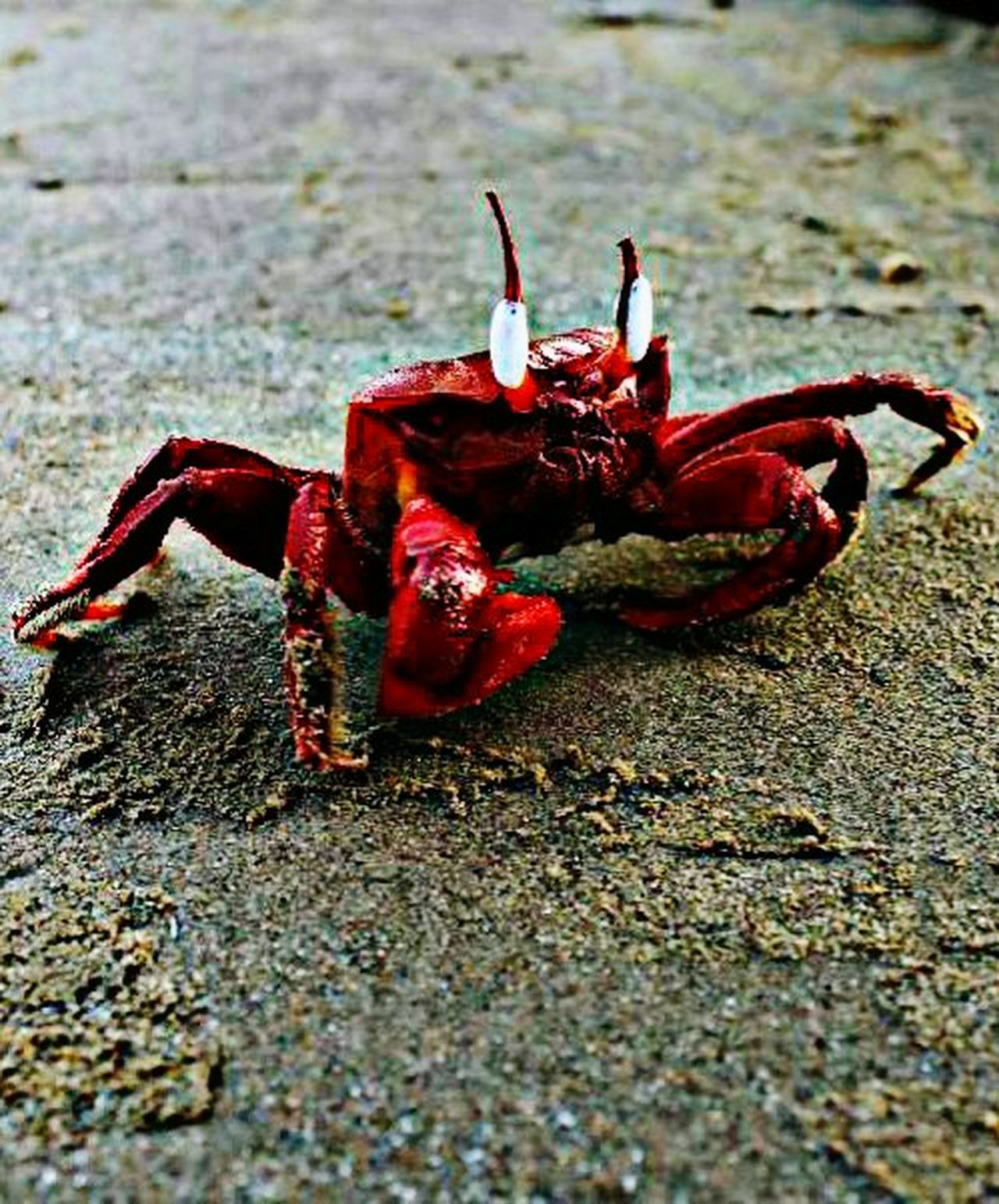 Sea_collection Crab Time Red Crab Crabbing Crabbie Taking Photos Deceptively Simple Check This Out Hi! Hello World