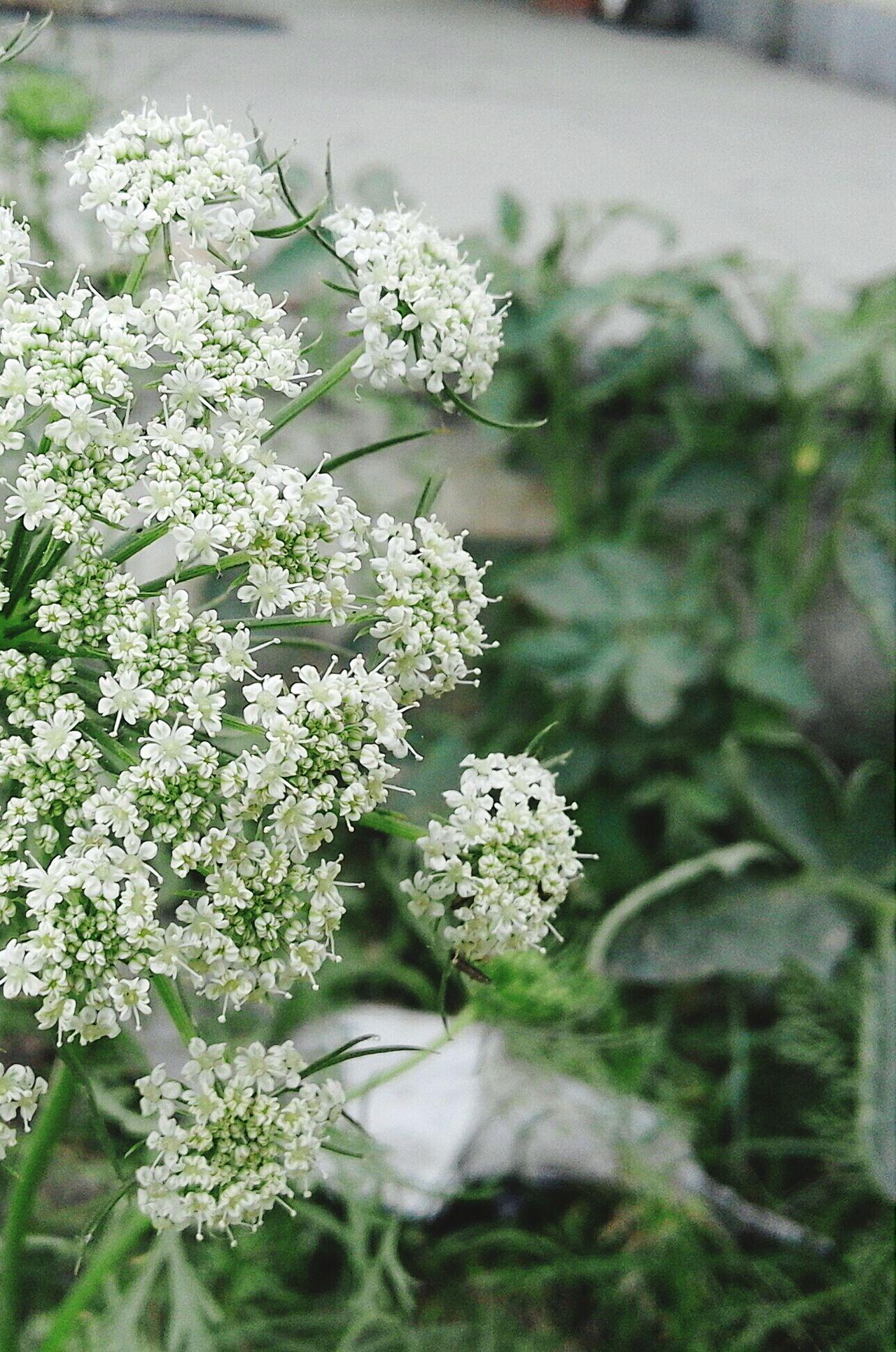 Coriander flowers Taking Photos Things I Like Flowers 🌸🌸🌸 Showcase April Vegetable Flower Show Us Your Takeaway! Popular Week On Eyeem