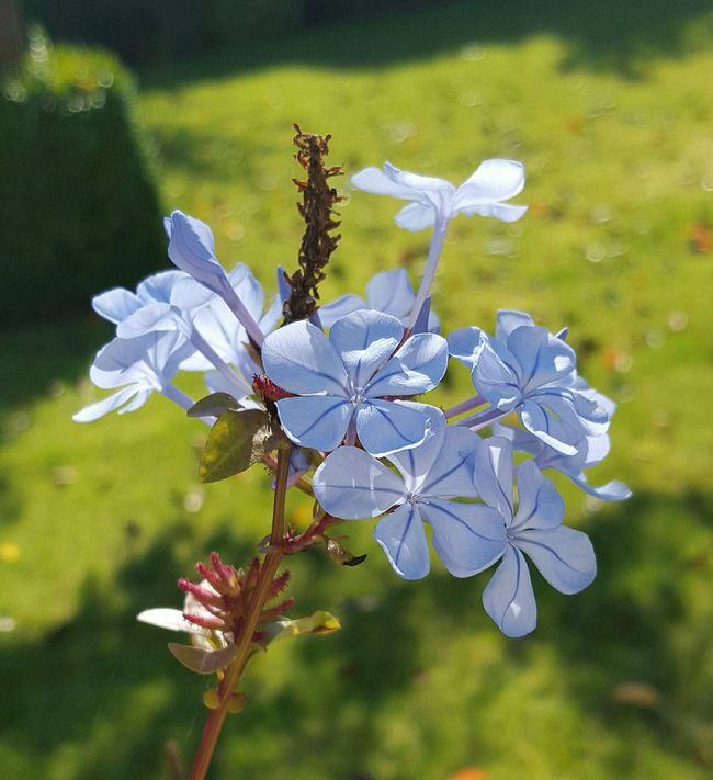 Plumbago Taking Photos Last Of Summertime Beautifulworld Flowerporn Blue Plumbago Beautiful Nature Mygarden Flowers Enjoying Life