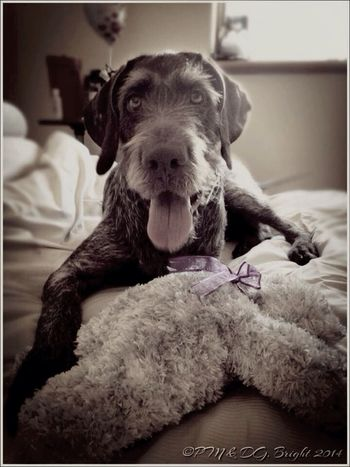 I can't play outside becoz of the heatwave, so my mommy got me a new stuffed teddy bear to play with.. Heatwave Ilovemydog German Wirehaired Pointer
