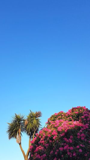Blue Tree Clear Sky No People Sky Nature Outdoors Plant Flower Beauty In Nature Cornwall Springtime Beautiful Day Blossom Freshness Rhododendrons Palm Tree