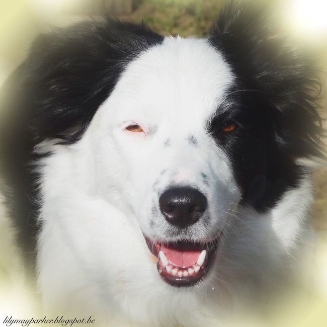 Domestic Animals Animal Themes Pets One Animal Dog Close-up Looking At Camera Portrait Animal Nose From My Point Of View Lily May Parker Lilymayparker.blogspot.be Lily May Collection Border Collie