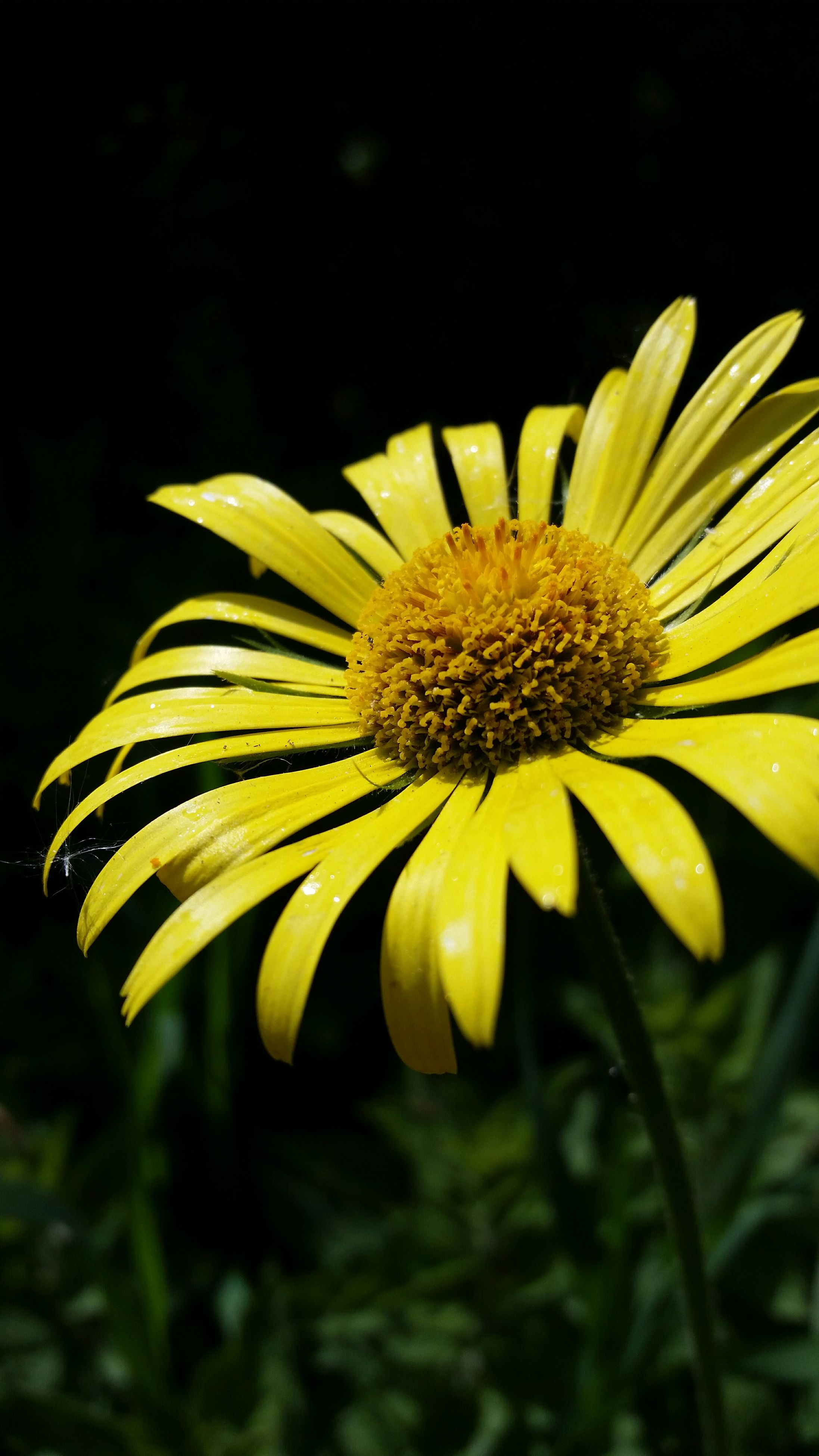 flower, freshness, yellow, petal, flower head, fragility, growth, beauty in nature, close-up, pollen, single flower, nature, blooming, focus on foreground, plant, in bloom, blossom, outdoors, no people, selective focus